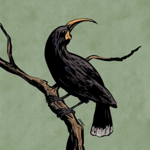 Commissioned illustration of a huia, an extinct native New Zealand bird